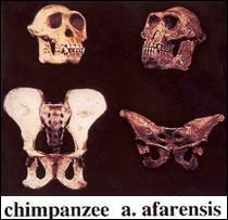 Australopithecus afarensis aka Lucy